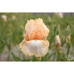Plante- Iris germanica Ruth Margaret