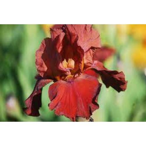 Plante- Iris germanica Samurai Warrior