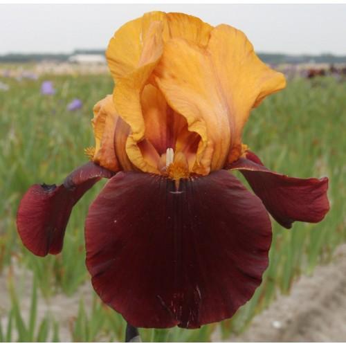 Plante- Iris germanica Shower