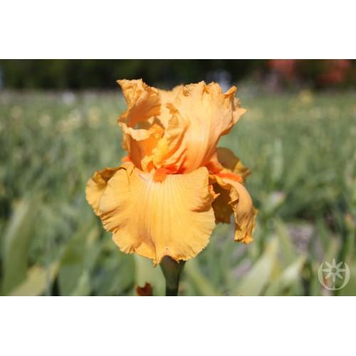 Plante- Iris germanica Skyfire