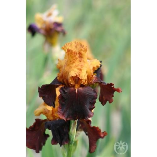 Plante- Iris germanica Supreme Sultan