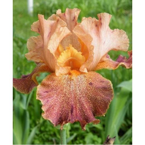 Plante- Iris germanica Tanzanian Tangerine Charm