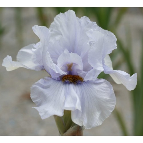 Plante- Iris germanica Touch of Bronze