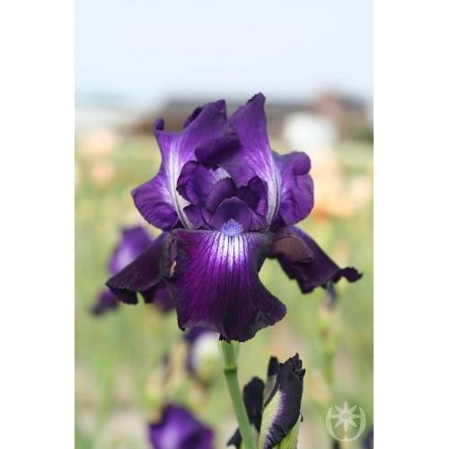 Plante- Iris germanica Winner's Circle