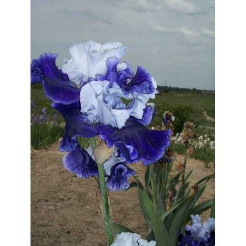 Plante- Iris germanica World Premier