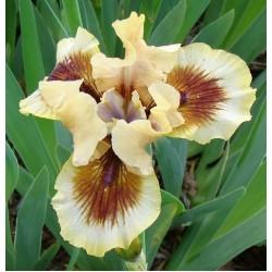 Plante- Iris germanica Zing Me