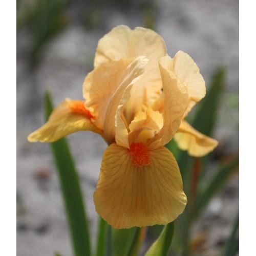 Plante- Iris pumila Autumn Tangerine