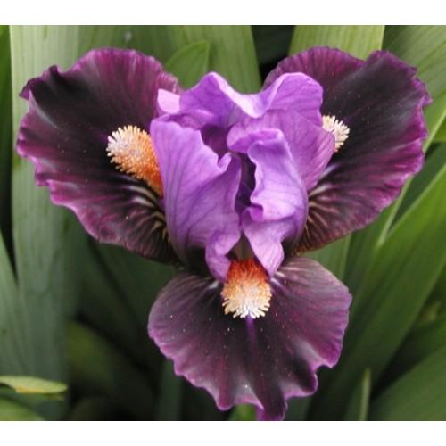 Plante- Iris pumila Chemistry