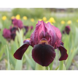Plante- Iris pumila Toots
