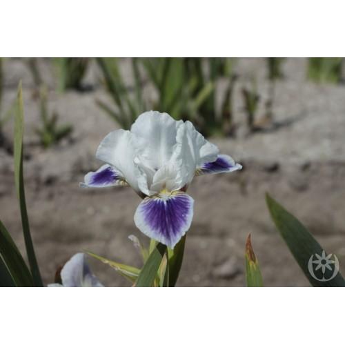 Plante- Iris pumila Boo
