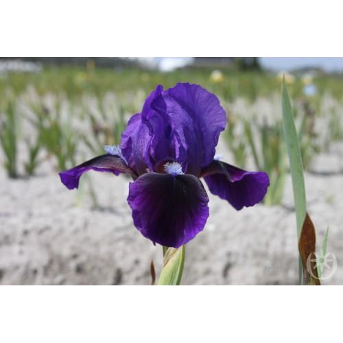 Plante- Iris pumila Little Shadow