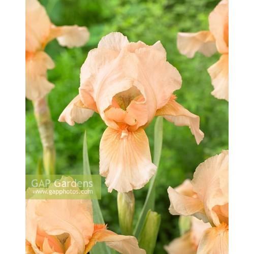 Plante- Iris pumila Bright Vision