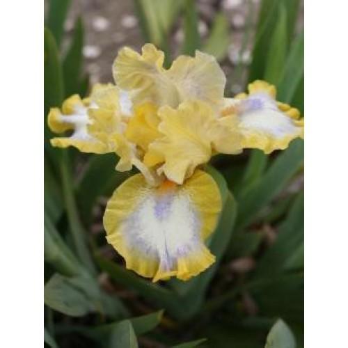 Plante- Iris pumila Easter