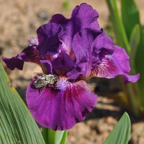 Plante- Iris pumila Exotic Aire