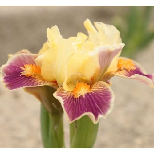 Plante- Iris pumila Hola