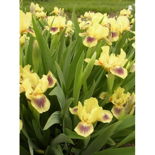 Plante- Iris pumila Inscription