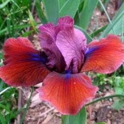 Plante- Iris pumila Jewelers Art