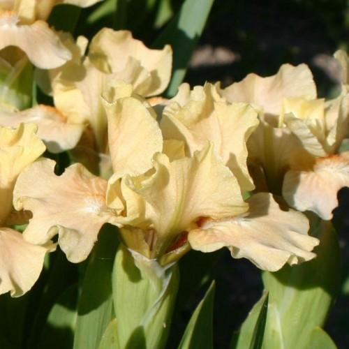Plante- Iris pumila La Ballet