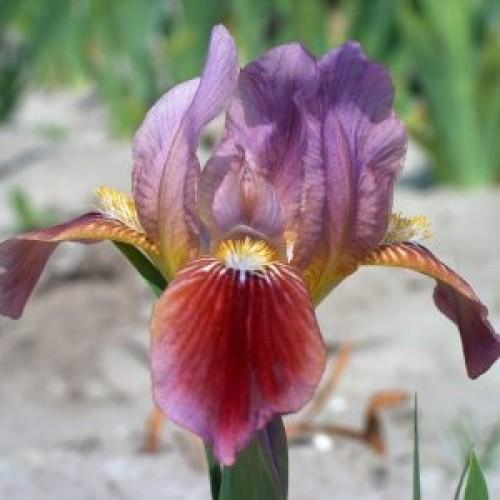 Plante- Iris pumila Little Rosy Wings
