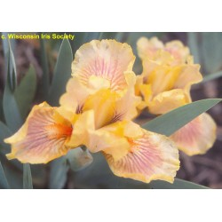 Plante- Iris pumila Pink Cushion