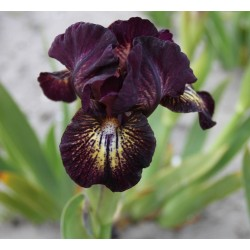 Plante- Iris pumila Ruby Eruption