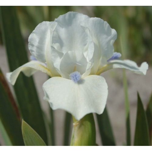 Plante- Iris pumila Star of Africa