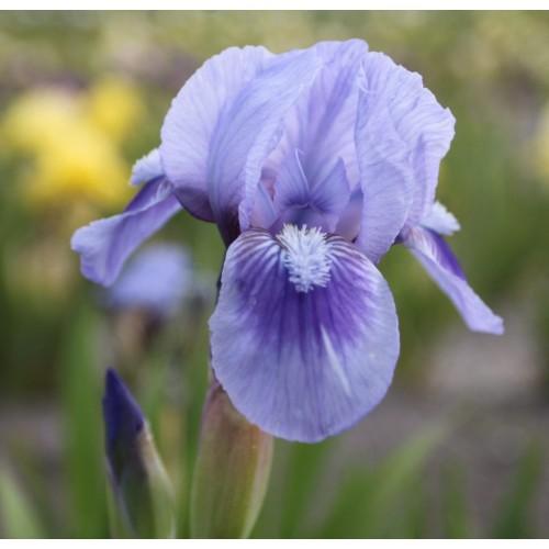 Plante- Iris pumila Tinkerbell