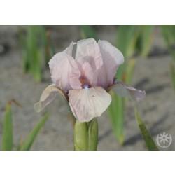 Plante- Iris pumila Volts