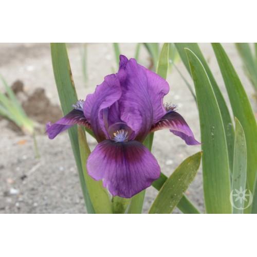 Plante- Iris pumila Yo-yo
