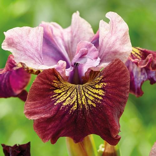 Plante Iris sibirica Miss Apple