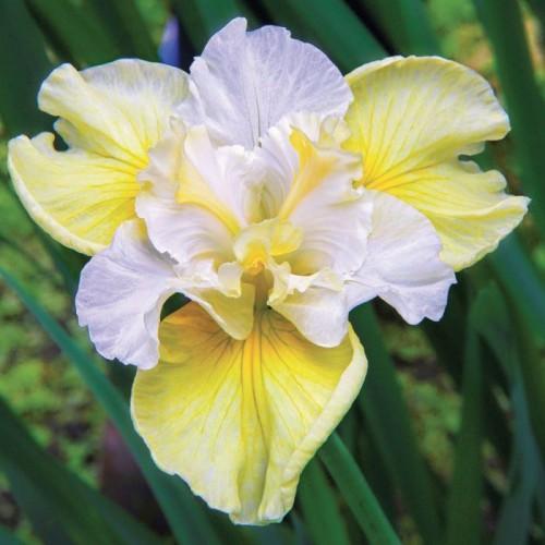 Plante Iris sibirica Yellow Tail