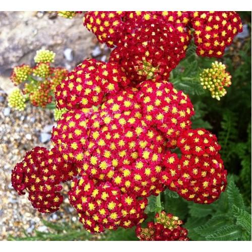 Plante Achillea millefolium Paprika - Coada soricelului