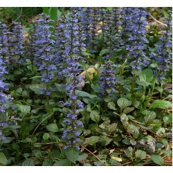 Plante Ajuga reptans - Vinetica