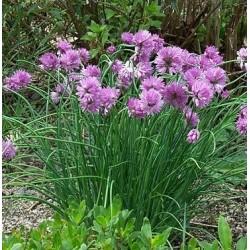 Plante Allium schoenoprasum - Ceapa decorativa