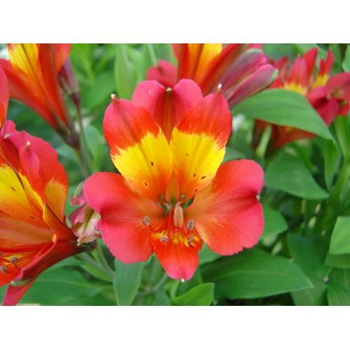 Plante Alstroemeria Inca Pulse-Crin peruvian