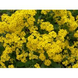 Plante Alyssum saxatile - Ciucusoara