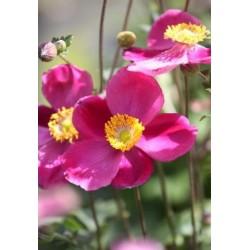 Plante Anemone hybrida Pretty Lady Diana-Anemone