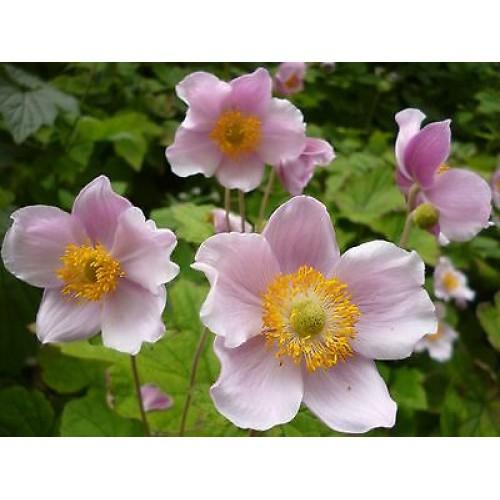 Plante Anemone japonica -Anemone