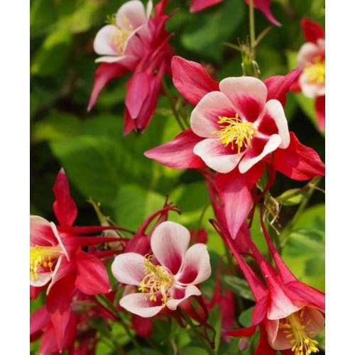 Plante Aquilegia caerulea Crimson Star-Caldaruse