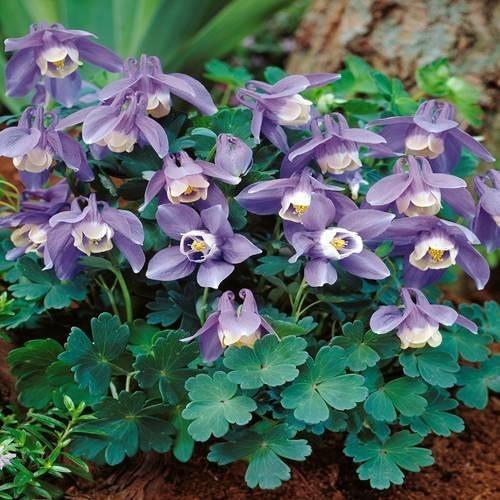 Plante Aquilegia flabellata Ministar-Caldaruse