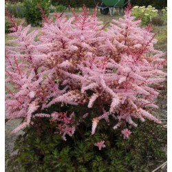 Plante Astilbe japonica Delft Lace - Astilbe