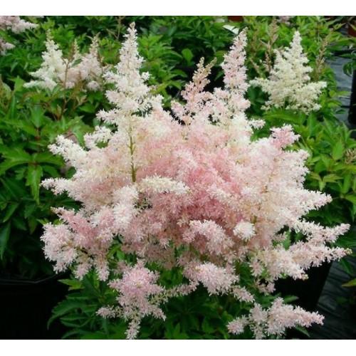 Plante Astilbe japonica Europa - Astilbe