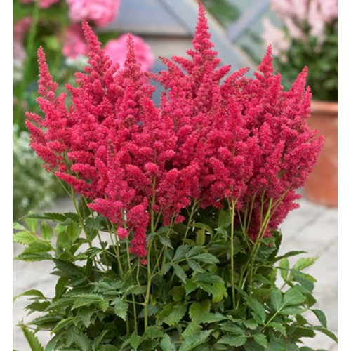 Plante Astilbe hybrida Fireberry - Astilbe