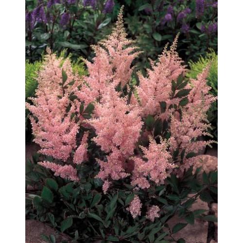 Plante Astilbe japonica Peach Blossom - Astilbe