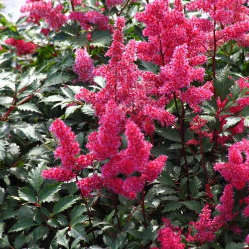 Plante Astilbe japonica Vesuvius - Astilbe