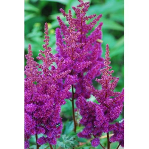 Plante Astilbe chinensis Purpurkerze - Astilbe