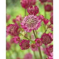 Plante Astrantia major Star of Treasure - Astrantia