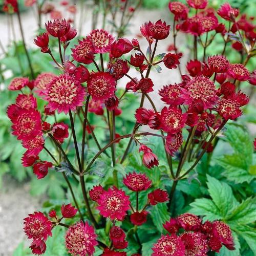 Plante Astrantia major Claret - Astrantia