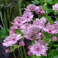 Plante Astrantia major Lola - Astrantia