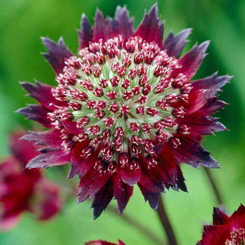 Plante Astrantia major Moulin Rouge - Astrantia